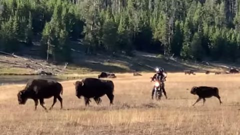 Video: Motorcyclists Harass Bison Herd At Yellowstone | Country Music Videos