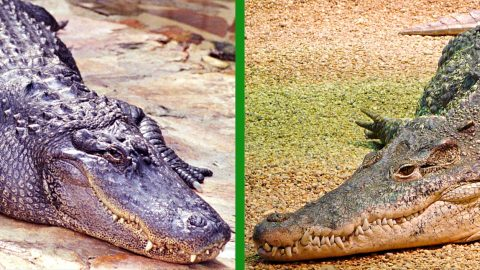 How To Tell The Difference Between Alligators & Crocodiles | Country Music Videos