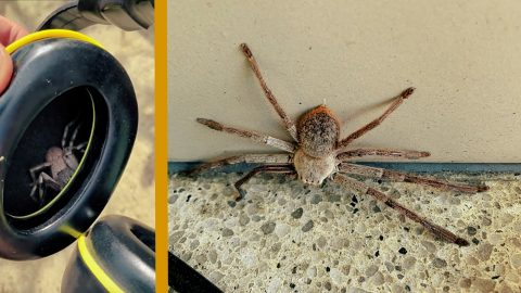 Guy Finds Huntsman Spider Tickling His Ear From Inside Earmuffs | Country Music Videos