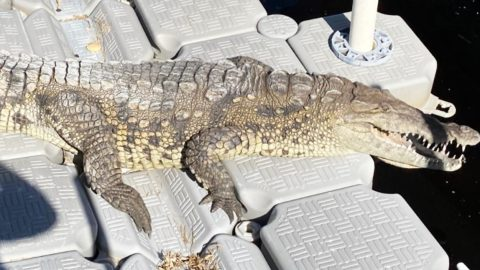 10-Foot, 70-Year-Old Crocodile Shows Up In Florida Woman's Backyard   Country Music Videos