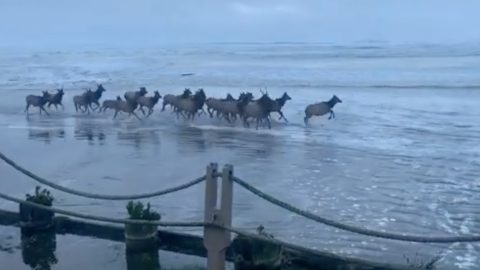 20 Elk Escape Ocean Waves While Running Down Shoreline | Country Music Videos