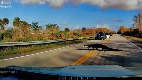 Gator Eating Road Kill Stops Traffic In Florida | Country Music Videos