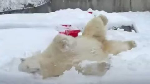 Polar Bear Nose Dives Into Snow & Plays Around | Country Music Videos