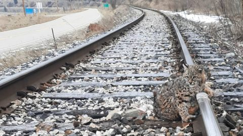 Bobcat Frozen To Tracks Saved Minutes Before Train Speeds By | Country Music Videos
