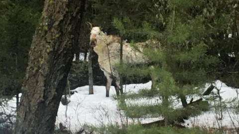 White Moose Spotted On Canadian Back Road | Country Music Videos
