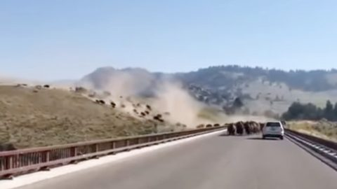 Herd Of Bison Stampede Towards Driver On Yellowstone Roadway   Country Music Videos