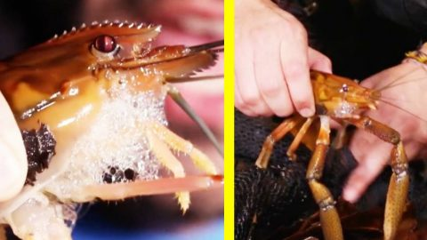 """Fisherman Catches """"Monster"""" Shrimp 
