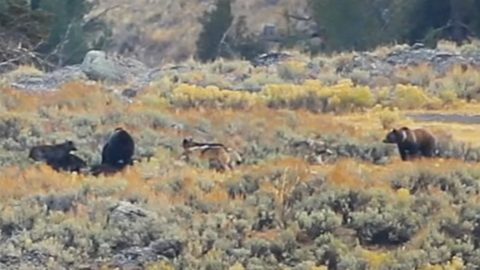 2 Grizzlies Fight 7 Wolves In Epic Yellowstone Footage   Country Music Videos