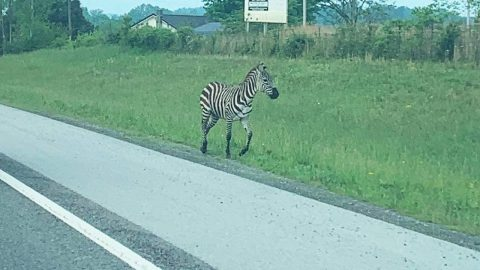 Zebra Tased After Escaping Truck – Still Got Away | Country Music Videos