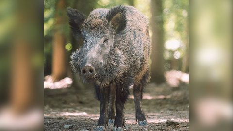 Couple Divorcing After Disagreement Over Wild Boars | Country Music Videos