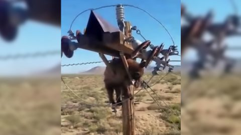 Bear Found Stuck At The Top Of Utility Pole   Country Music Videos
