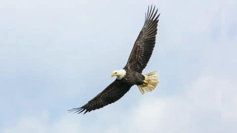 Bald Eagle Kills 54 Sheep On Idaho Farm | Country Music Videos