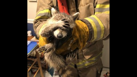 """""""Embarrassed"""" Raccoon Rescued After Breaking Into Home 