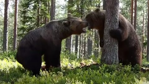 Grizzly Bear Fight Filmed From 3 Different Camera Angles   Country Music Videos