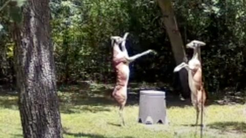 2 Deer Stand On Hind Legs & Box Over Food   Country Music Videos