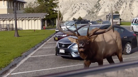 """""""It's Safe To Be Scared,"""" Says Visitor After Elk Gores Police Vehicle   Country Music Videos"""