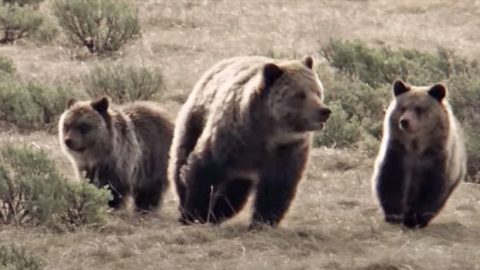Hunter Mauled By Grizzly Bear Protecting Her Cubs   Country Music Videos
