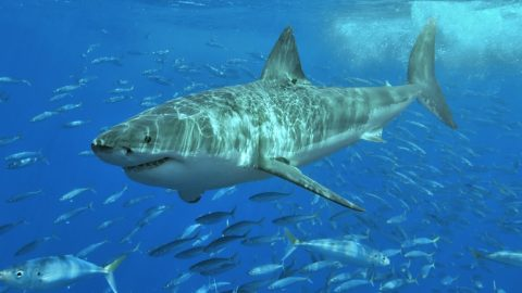 Great White Shark Hoax Scares Thousands Of People In Australia | Country Music Videos